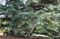 The amazing Blue Atlas Cedar at Morris Arboretum.