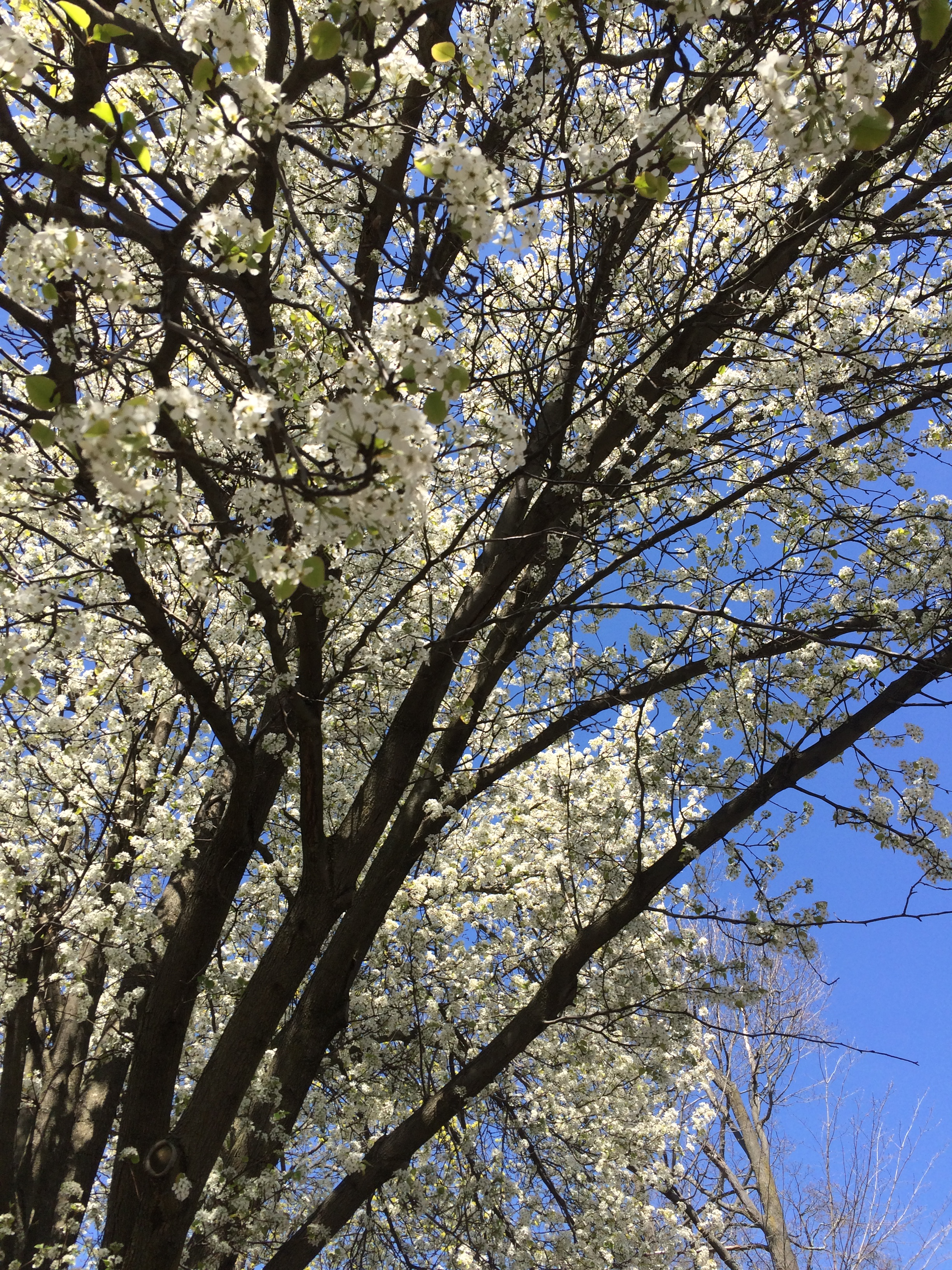 Flowering trees were calling me a stroll through chestnut hill to wit two or three days after the 9th i began to spot some flowering trees in bloom finally spring was coming out from behind the curtains izmirmasajfo